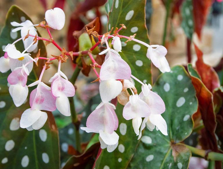 Forellenbegonie (Begonia maculata