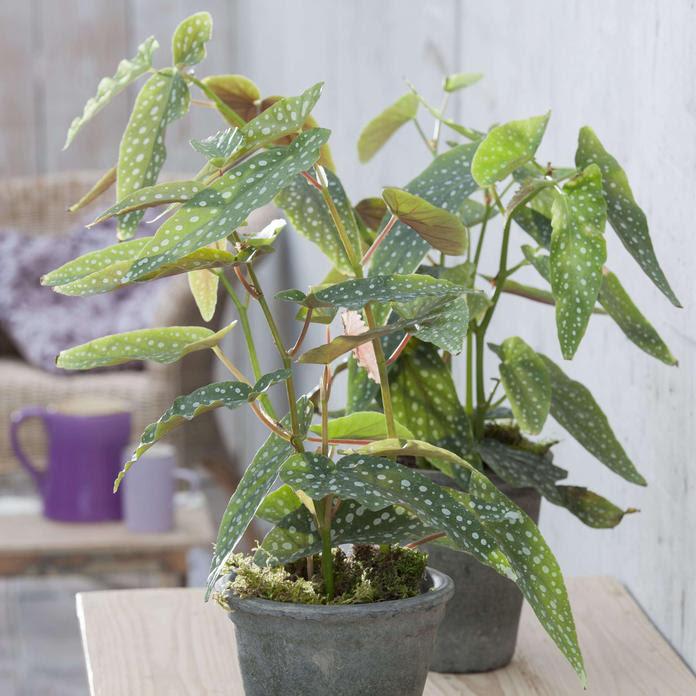 Forellenbegonie (Begonia maculata 'Tamaya')